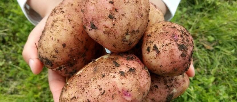 хороший картофель в руках