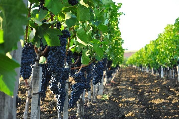 виноград в процессе роста