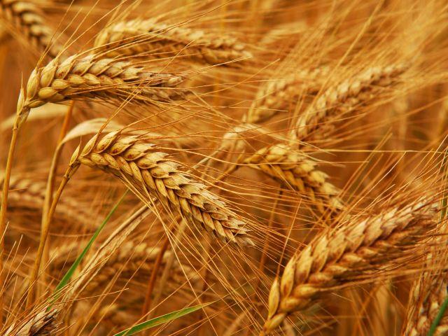 удобрение для яровой пшеницы