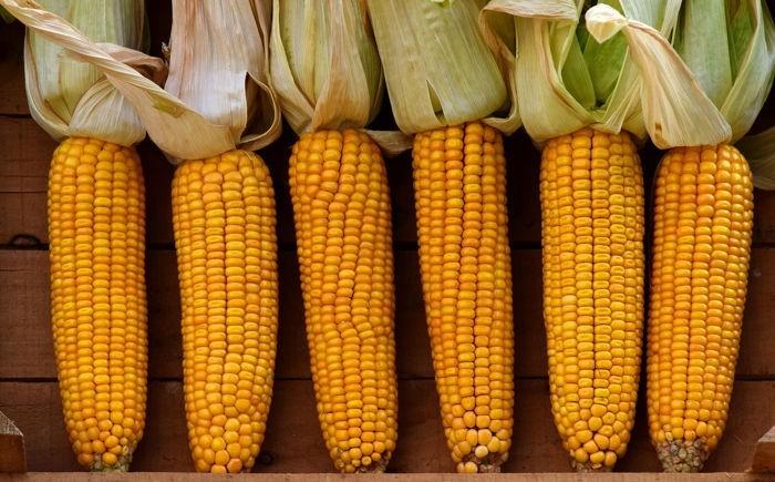 собраная кукуруза