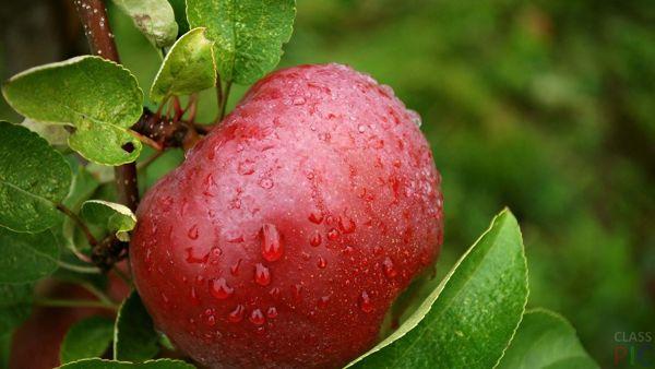 яблоко спелое после удобрения