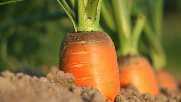 удобренная морковь