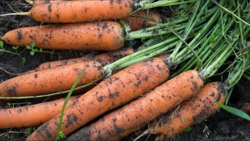 собранная морковь с грядки удобрённая