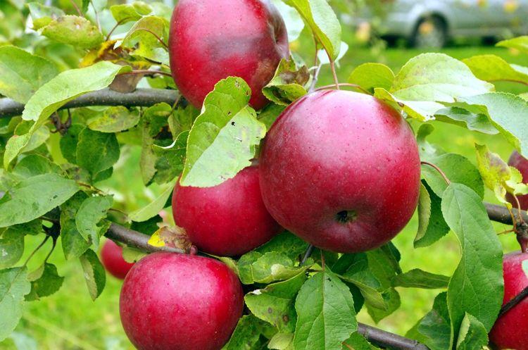 удобренные яблоки