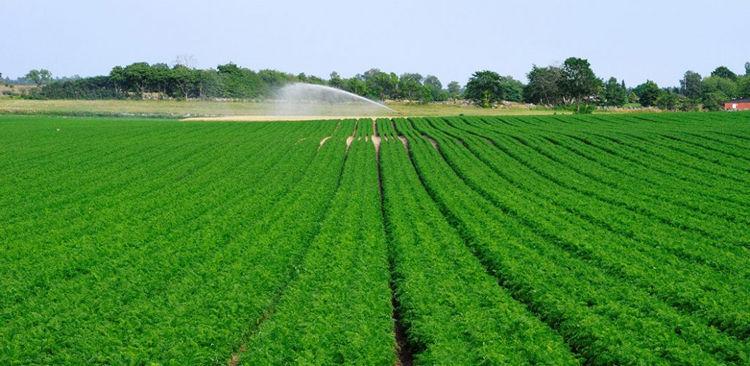 поле удобренное моркови