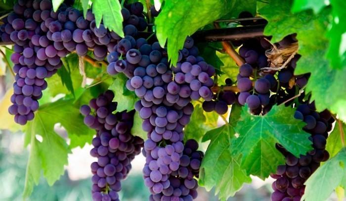 спелые грозди после удобрения