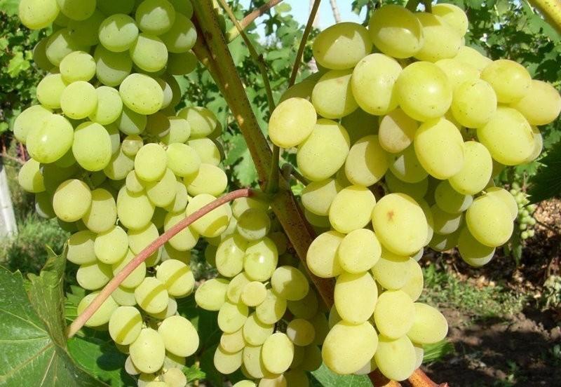 зелёный сорт винограда